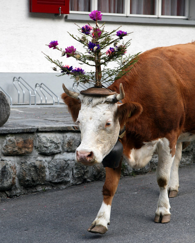 cow with flower tower on head