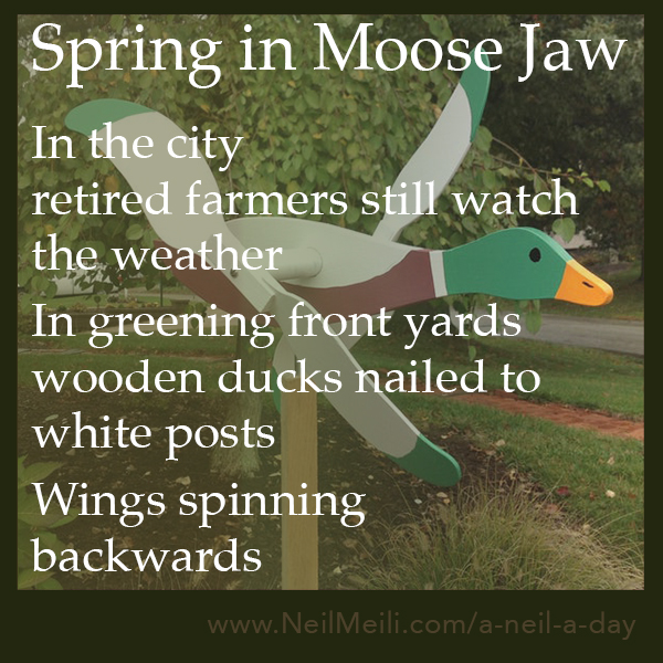 In the city retired farmers still watch the weather  In greening front yards wooden ducks nailed to white posts  Wings spinning backwards