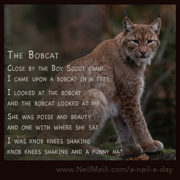 Close by the Boy Scout camp I came upon a bobcat in a tree  I looked at the bobcat and the bobcat looked at me  She was poise and beauty and one with where she sat  I was knob knees shaking knob knees shaking and a funny hat