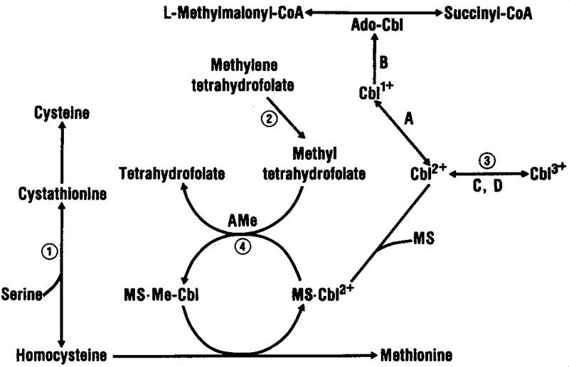 Homocystinuria and Megaloblastic Anemia Responsive to
