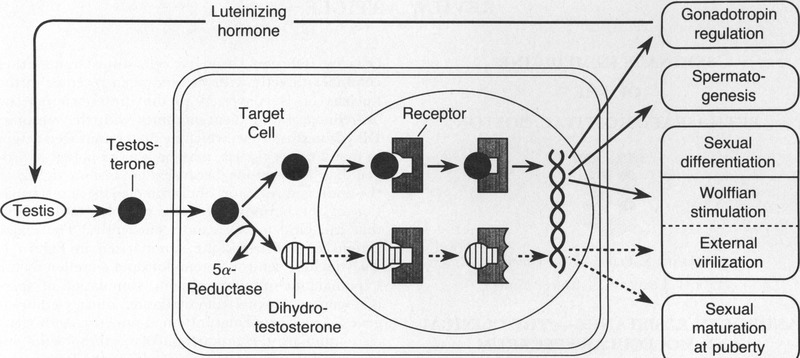 Androgen Resistance — The Clinical and Molecular Spectrum