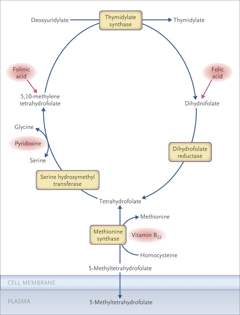 Megaloblastic Anemia - Causes, Pathophysiology ...