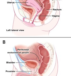 anatomical structures anterior to the rectum in women and men  [ 800 x 1287 Pixel ]