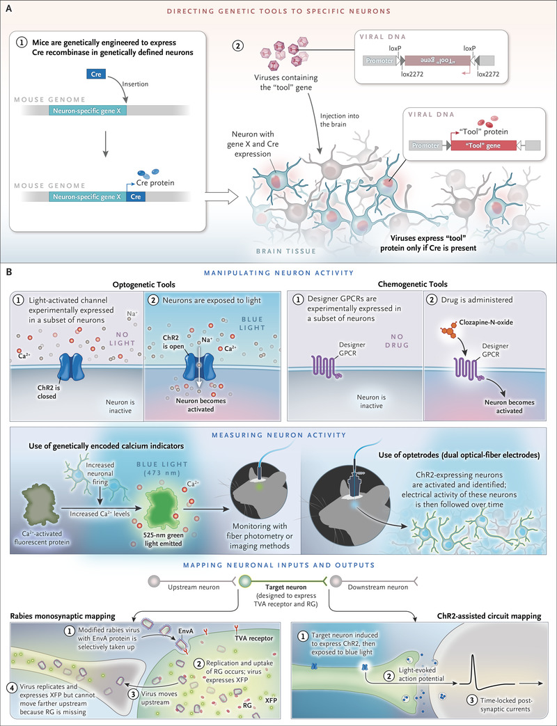 msh brain wiring diagram ibanez rg 320 fm new neuroscience of homeostasis and drives for food water salt figure 1 manipulating measuring mapping genetically defined neurons