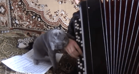 cat_and_accordion05