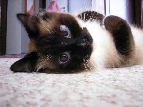 【猫画像】目で訴え