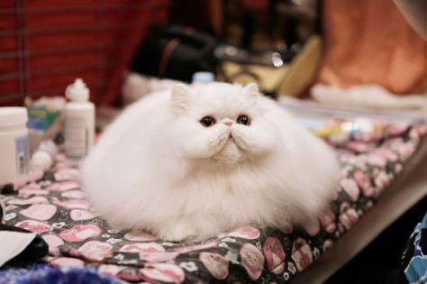 fluffy_cats13