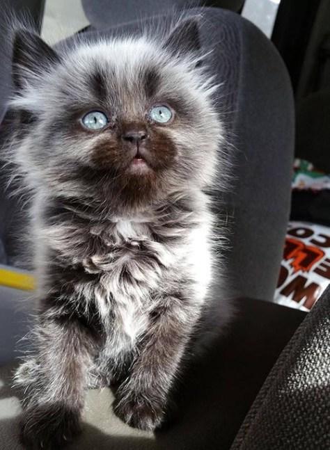 【猫画像】銀猫