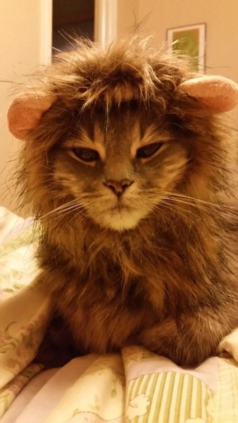 【猫画像】ライオン風