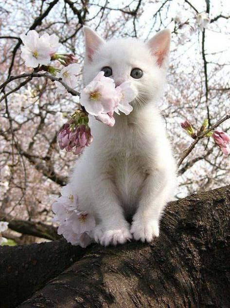【猫画像】子猫と桜