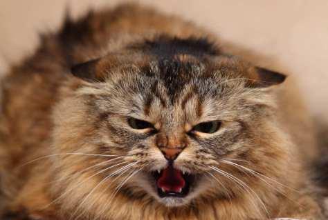 【猫画像】怒!?