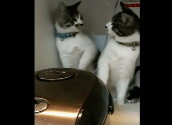 【猫動画】まるで漫才コンビ!?「炊飯器」の湯気が気になる猫コンビの反応とは・・・!?