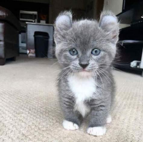 【猫画像】耳が個性的!?