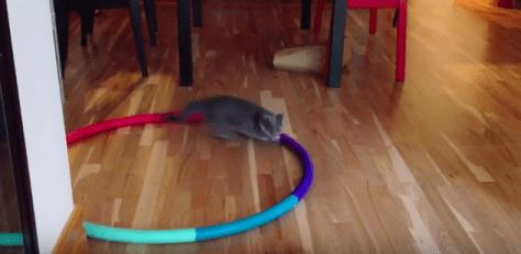 cat_plays_on_hula_hoop03