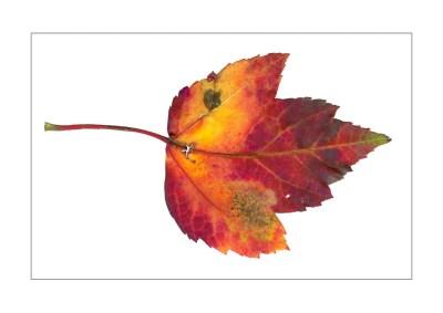 Fallen Leaves I-2