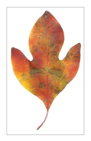 Fallen Leaves I-6