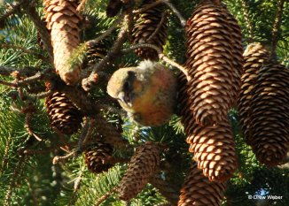 immature male White-winged Crossbill