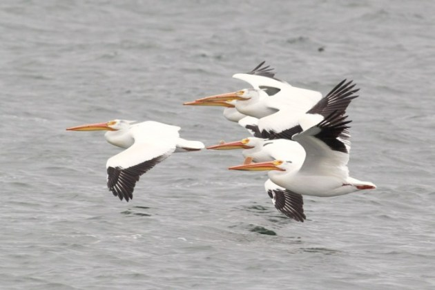 American White Pelicans at American Falls Dam, Idaho (Alex Lamoreaux)