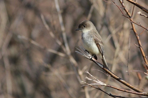Eastern Phoebe (Photo by Alex Lamoreaux)