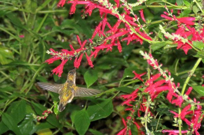 Calliope Hummingbird Range