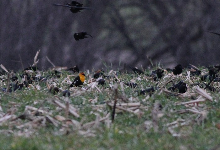 Yellow-headed Blackbird with other blackbirds in Lancaster County. (Photo by Alex Lamoreaux)