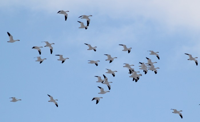 Middle Creek WMA is famous for being PA's number 1 stopover site for Snow Geese. There were 800 counted on the lake earlier this morning and we saw flyover flocks throughout the day. (Photo by Alex Lamoreaux)