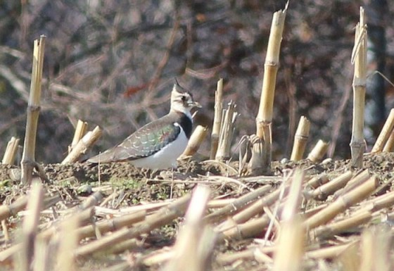 Northern Lapwing in Massachusetts. (Photo by Alex Lamoreaux)