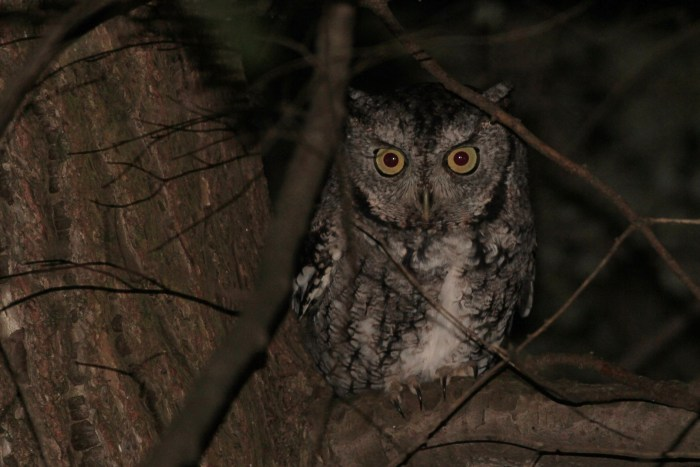 One of two Eastern Screech-Owls we found on our CBC. (Photo by Alex Lamoreaux)