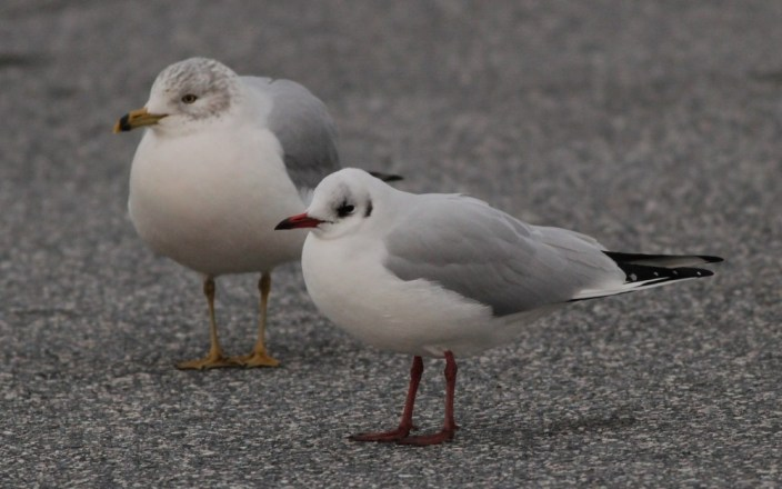 Black-headed Gull - Adult at Hunt Valley Town Center, Maryland (Photo by Alex Lamoreaux)Black-headed Gull - Adult at Hunt Valley Town Center, Maryland (Photo by Alex Lamoreaux)