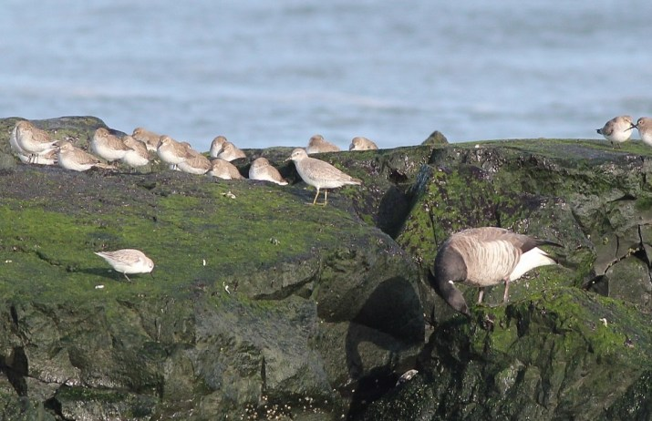 Red Knot (center) with Dunlin, Sanderling, and Brant on the jetty at Stone Harbor. (Photo by Alex Lamoreaux)