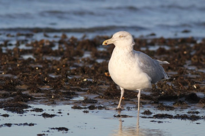 A rather handsome Herring Gull. (Photo by Alex Lamoreaux)