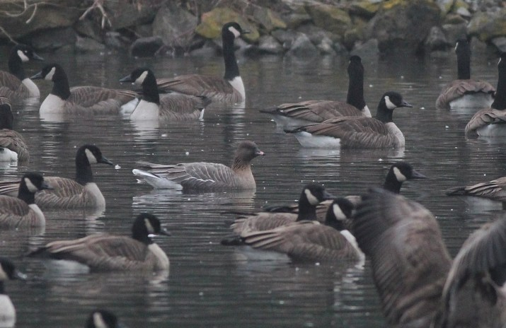 The adult Pink-footed Goose at Dorney Pond. (Photo by Alex Lamoreaux)