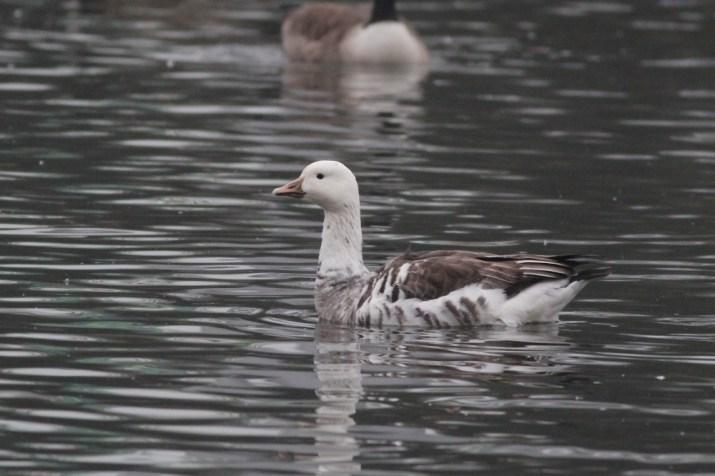 Snow Goose X Canada Goose hybrid at Dorney Pond. (Photo by Alex Lamoreaux)