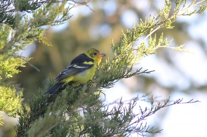 The male Western Tanager feeding from a cedar. (Photo by Alex Lamoreaux)