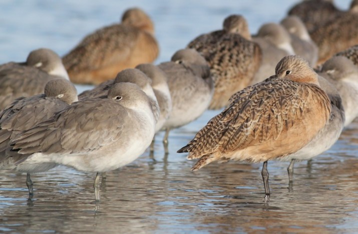 Marbled Godwit resting among 'Western' Willet - January in New Jersey (Photo by Alex Lamoreaux)