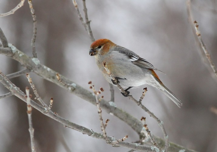 One of three Pine Grosbeaks at the Collins Landing rest area - a lifer for most of the birders on our trip! This bird is an immature male because of the orange-red wash on its head and rump. (Photo by Alex Lamoreaux)