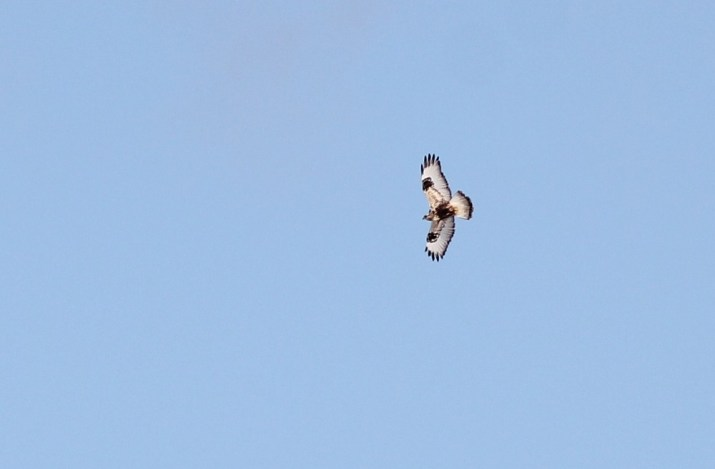 A distant, light type Rough-legged Hawk that we saw on Amherst Island. (Photo by Alex Lamoreaux)