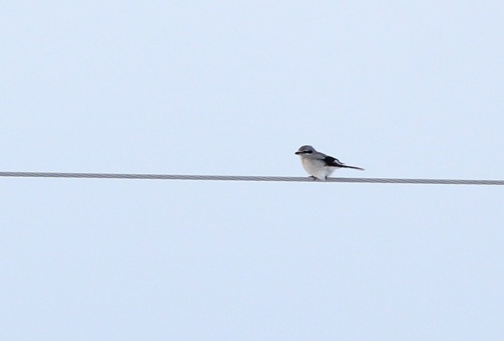 An adult type Northern Shrike on Amherst Island. (Photo by Alex Lamoreaux)