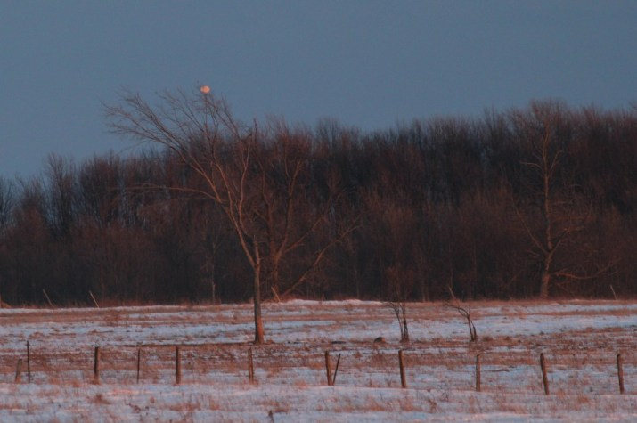 A very distant Snowy Owl perched in the top of a tree on Amherst Island. (Photo by Alex Lamoreaux)