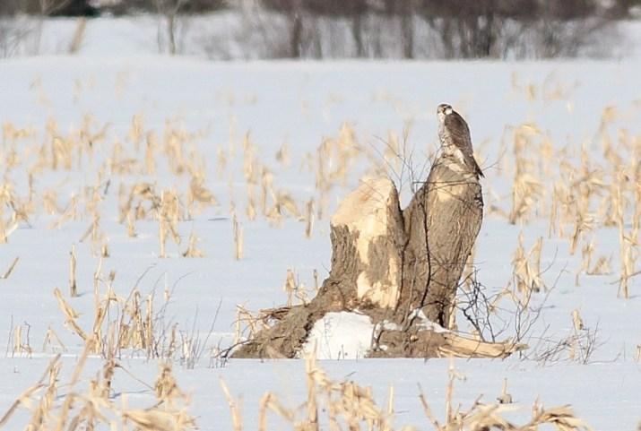 Immature Peregrine Falcon along Giroux Rd. (Photo by Alex Lamoreaux)