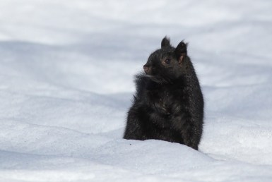 'Black' squirrels, like this one, are incredibly common in the Ottawa area and we saw hundreds throughout the day. (Photo by Alex Lamoreaux)