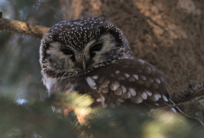 A roosting Boreal Owl, in a spruce tree - my 900th lifer! (Photo by Alex Lamoreaux)