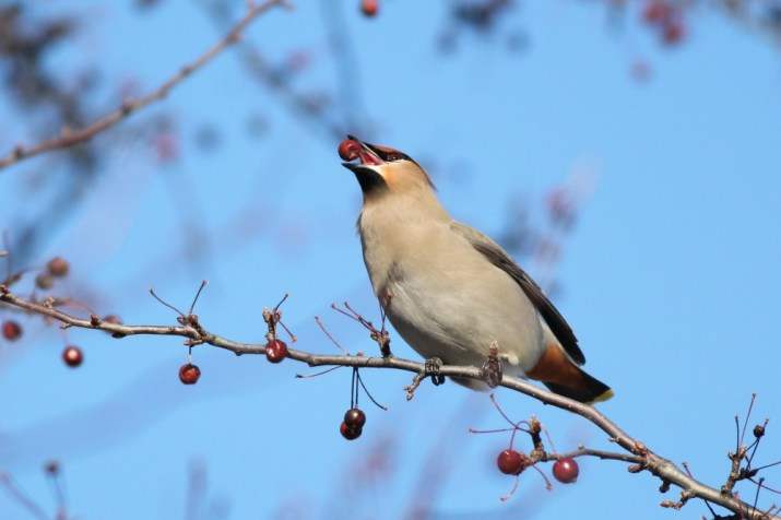 A Bohemian Waxwing that is about to destroy that berry. (Photo by Alex Lamoreaux)