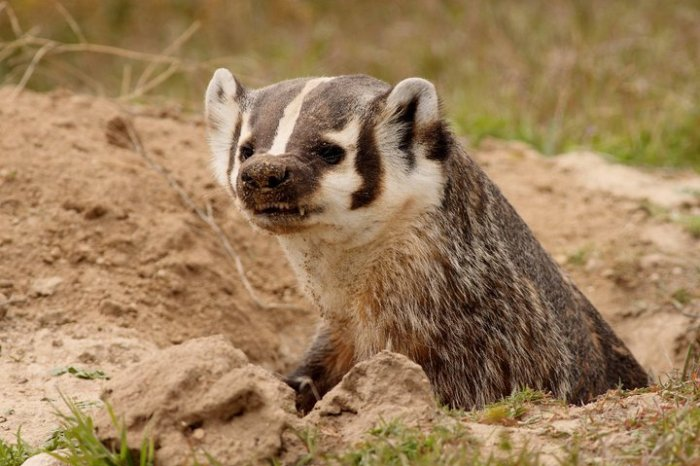 American Badgers share the landscape with Long-billed Curlews in Idaho. While this mammal is extremely fiesty, it unfortunately can't protect itself from illegal poaching.