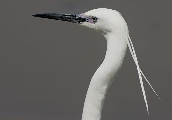 Little Egret showing two very long and slender head plumes (Photo by Trevor Hardaker)