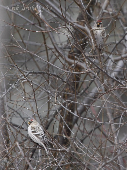 Hoary Redpoll and Common Redpoll