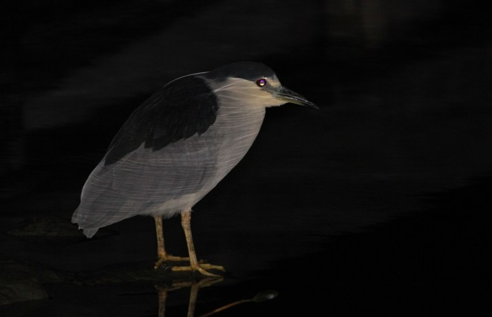 Black-crowned Night-Heron hunting for fish around the marina at Flamingo. (Photo by Alex Lamoreaux)
