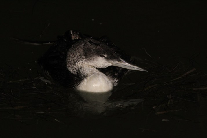 An injured Common Loon that we found in Flamingo. (Photo by Alex Lamoreaux)