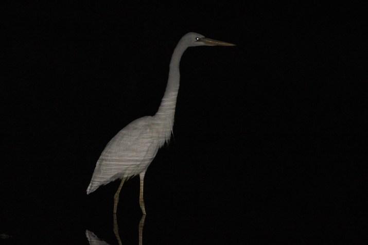 'Great White' Heron on Big Pine Key, Florida. (Photo by Alex Lamoreaux)