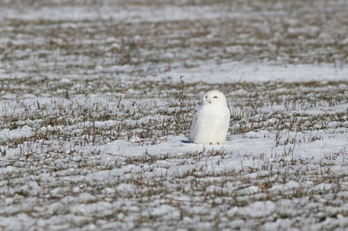 Snowy Owl near St. Catharines - possibly an adult male because of how white it is? (Photo by Alex Lamoreaux)